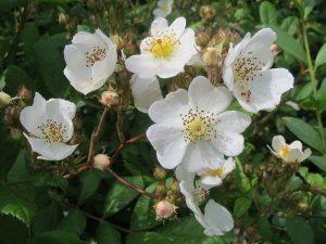 Rosa Flora Flowers